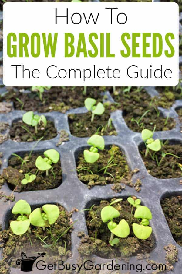How To Grow Basil Seeds: The Complete Guide