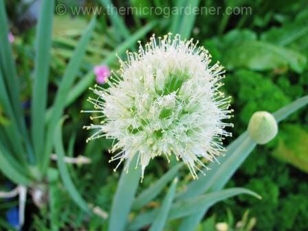 Shallot flower head developing.