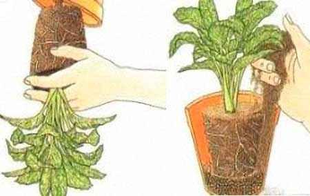 Пересадка и перевалка комнатных растений – , ?