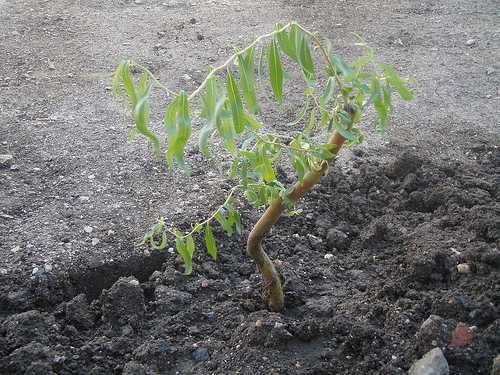 Черенкование ивы осенью – Размножение ивы черенками, выращивание и уход за саженцем