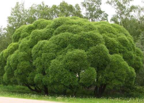 Как посадить иву из ветки осенью