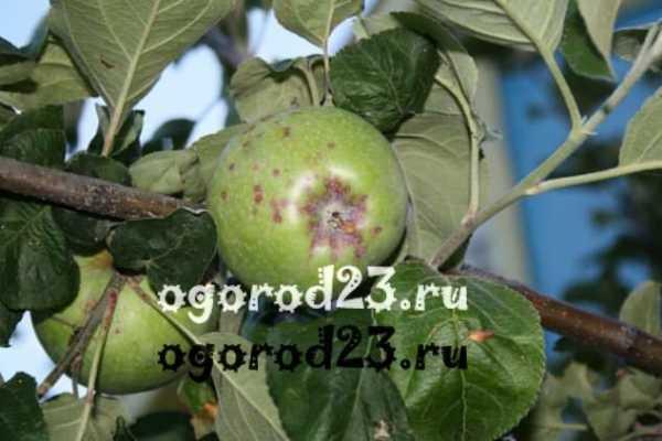 Вредна ли парша на яблоках для человека
