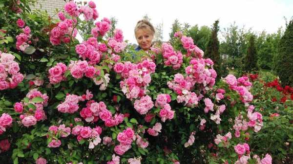 Роза Лагуна 27 фото описание плетистого сорта особенности роз Лагуны Свит Можно ли выращивать их в саду в Подмосковье